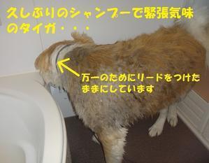 あれから・・・初のシャンプー! - もももの部屋(家族を待っている保護犬たちと我家の愛犬のブログです)