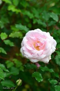 バラ アーチンゲイチンブラッシュチャイナ|謎のバラ - 今日の小さなシアワセ