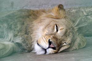 2017.7.17 東北サファリパーク☆白獅子ポップと茶獅子のぞむ【Lions】 - 青空に浮かぶ月を眺めながら