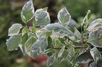コルヌス アルバ エレガンティッシマ - CHIROのお庭しごと