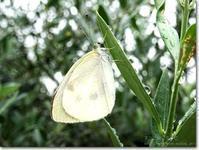 【あ】雨の日の蝶:あめのひのちょう - ネコニ☆マタタビ