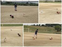 17年7月17日 グランドでサッカー! - 旅行犬 さくら 桃子 あんず 日記