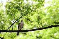 ツミ - 趣味の野鳥撮影
