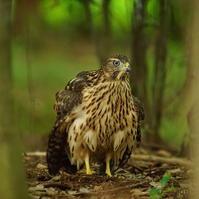 何時の間にか☆☆☆立派な姿に しかし餌は親鳥に・・・おねだり♪ - 気ままな撮影散歩