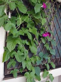 ヘチマの葉っぱは美味しいらしい - ふたりで暮らす