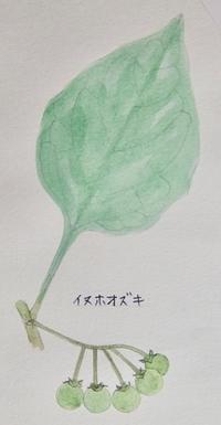 #植物スケッチ 『犬酸漿』 - スケッチ感察ノート