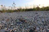 コチドリの雛 生まれた日 - イチガンの花道