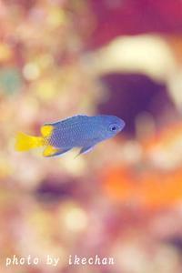 意図してないけど ~フィリピンスズメダイ幼魚~ - 池ちゃんのマリンフォト