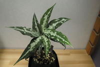 "Aglaonema pictum 'AS' ""Aceh Sumatera"" - PlantsCade -2nd effort"