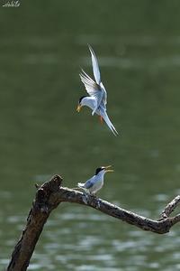 コアジサシ - 野鳥公園