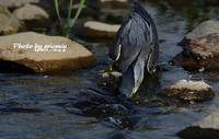 ササゴイのオイカワ漁 最終章 - azure 自然散策 ~自然・季節・野鳥~