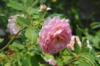 山の麓のローズガーデンへ ~ とちぎ花センター - 季節の風を追いかけて