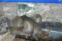 蛸 - 身近な動物・植物