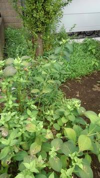 エノコログサ撲滅第二弾 - うちの庭の備忘録 green's garden