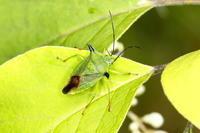 トゲツノカメムシ - Insect walk