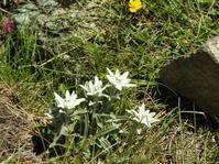 ツェルマットのお花 ブラウヘルト~スネガ - 花と写真と
