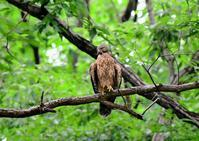 オオタカ - ひげ親爺の探鳥日記