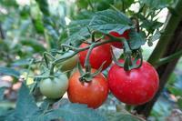 畑の彩り夏野菜とアーティチョークの花 - イタリア写真草子 - Fotoblog da Perugia