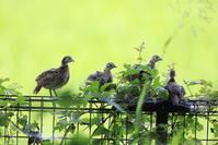 キジ - 『彩の国ピンボケ野鳥写真館』