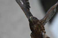 オオタカ 07月16日-2 - 旧サンヨン(Nikon 300mm f/4D)野鳥撮影放浪記