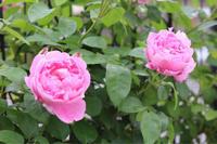 夏のメアリーローズ*東側が賑やかに - my small garden~sugar plum~