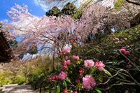 京都の桜2017 しだれ桜咲く三千院 - 花景色-K.W.C. PhotoBlog