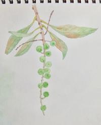 #植物スケッチ 『馬酔木』 - スケッチ感察ノート