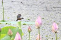 蓮とカワセミ - fumufumu日記