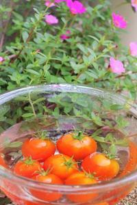 かわいいトマト - ココロのままにゆるりぱちり