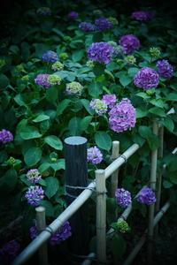 万博記念公園   6/19 紫陽花 - 写真部