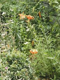 庭の百合・・・ - 【出逢いの花々】