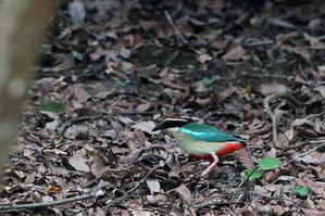 幻の鳥ヤイロチョウ - 比企丘陵の自然