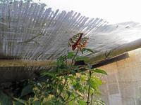 夏眠実験中ウラギンヒョウモン - 秩父の蝶