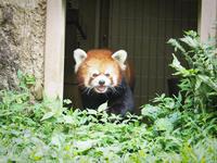 多摩動物公園 7月17日 レッサーパンダ - お散歩ふぉと