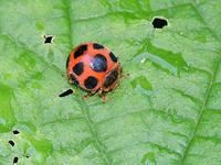 トホシテントウ・ルイヨウマダラテントウ東京西郊型 - 一寸の虫にも五分の魂