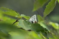 そろそろ クロ・キリシマ の季節 - チョウ!お気に入り