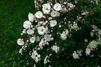 バラと紫陽花 - emptynest2