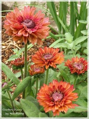 Rudbeckia 'Ruby Ruby' - Garden Diary