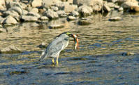 ササゴイの魚捕り - barbersanの野鳥観察