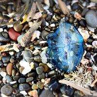 Velella velella - on the shore