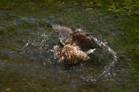 オオタカ 07月16日-3 - 旧サンヨン(Nikon 300mm f/4D)野鳥撮影放浪記