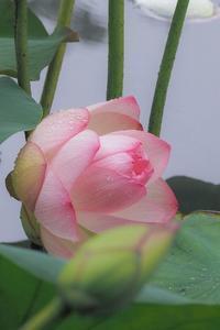 Lotus fantasy 6 - 気ままにお散歩