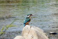 浅川の幼鳥たち - 西多摩探鳥散歩