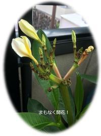 プルメリア・コンロンカ観察日記 - *マウオリオリ* リボンレイ~Happy♪ Joyful♪ Thankful !!