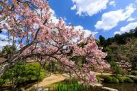 京都の桜2017 桜と石楠花の実光院 - 花景色-K.W.C. PhotoBlog