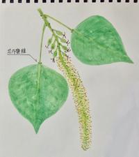 #植物スケッチ 『南京櫨』 - スケッチ感察ノート