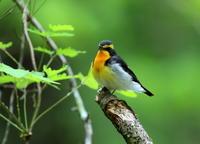 ブログ始めました! - 鳥撮り日誌