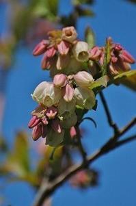 今日のブルーベリーとラズベリーと野良イチゴ - 空ヤ畑ノコトバカリ