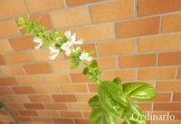 Fiore di basilico - バジリコの花 - - Ordinario な日々