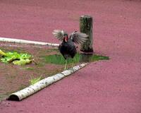 アゾラの池でバン! - 星の小父さまフォトつづり